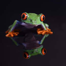 Chilean Red-eyed Tree Frog and Reflection by Fiona Etkin - Animals Amphibians ( black background, reflection, indoor photography, big eyes, nature, frog, amphibian, chilean red-eyed tree frog, animal )