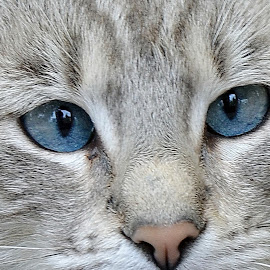 by Ioan Trifu - Animals - Cats Portraits