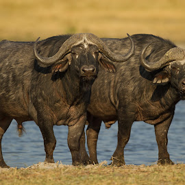 Double Buffalo in Botswana by Francois Retief - Animals Other Mammals