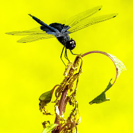 Dragon Fly by Robert Smith - Animals Insects & Spiders ( macro, background, contest, yellow, dragonfly )