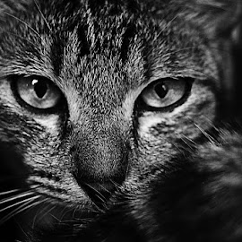 Gaze by Devi Saraswati - Animals - Cats Portraits ( blackandwhite, cat, stock, gaze, bw, fur, eyes, animal )