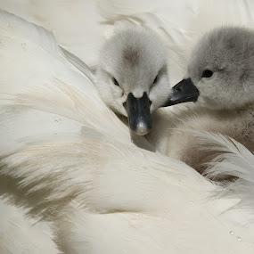 2 in a bed by Jon Harris - Animals Birds