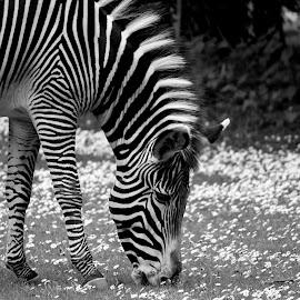 just another day on the grass by Andrew Barnes - Novices Only Wildlife ( grass, black and white, daisies, ears, eating, zebra, stripes, eyes, hooves )