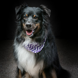 Freshly Groomed by Andrew Christmann - Animals - Dogs Portraits ( playing, field, border collie, grass, green, australian shepherd, dog, running )