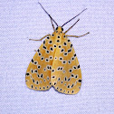 Crotalaria Podborer