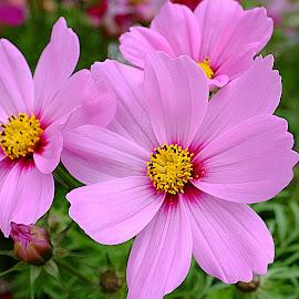 Cosmos Garden by Millieanne T - Flowers Flower Gardens