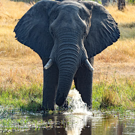 Elephant at the River Kwai by Claudia Lothering - Animals Other Mammals