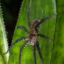 Tiger Wandering Spider