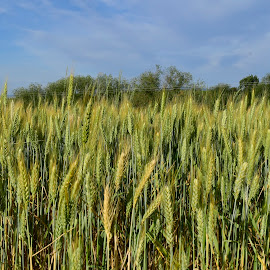 Wheat. by Denton Thaves - Landscapes Prairies, Meadows & Fields ( agriculture )