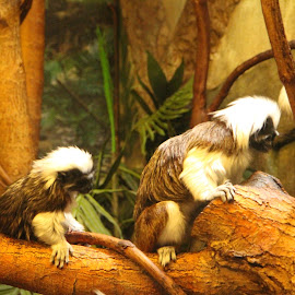 by Drew Emond - Novices Only Wildlife ( tree, play, swing, cute, monkey )