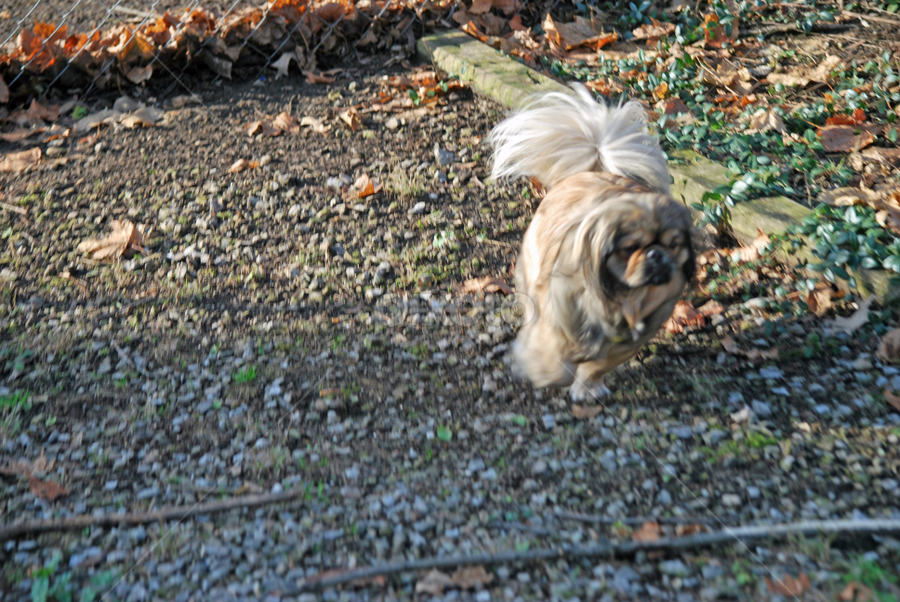 quick turn by Tim Hauser - Animals - Dogs Running ( pekingese, dog, running, mammal, animal )
