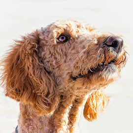 Labradoodle by Dave Lipchen - Animals - Dogs Portraits ( labradoodle )