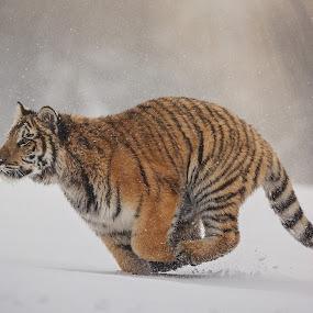 Run by Jiri Cetkovsky - Animals Lions, Tigers & Big Cats ( winter, tiger, ussurian )
