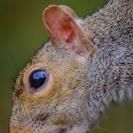 Mr. Squirrel by Mike Craig - Animals Other Mammals