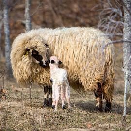 Hi mom by Nick-Nikola Mraovic - Uncategorized All Uncategorized ( croatia, field, nature, lamb, farm, sheep )