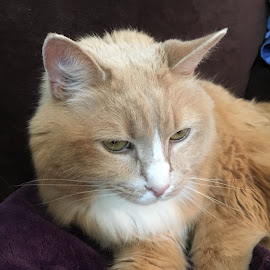 Skuttle on Purple by Kristine Nicholas - Novices Only Pets ( orange, orange cat, cat, kitten, pet photography, ginger, purple, ginger cat, pet portrait, pet, buff, feline, kitty,  )