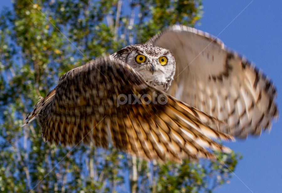 Owl by Nigel Bullers - Animals Birds ( bird, flight, owl, animal, motion, animals in motion, pwc76 )