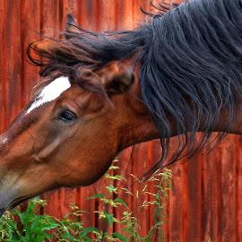Horse by Claudiu Petrisor - Animals Horses ( horse, eating, romania, brown, white star )