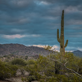 Arizona Desert by Ken Mickel - Landscapes Deserts ( desert, cacti, arizona, desert vegitation, arizona desert, deserts, saguaro, cactus )