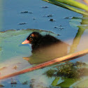 Common Gallinule (chick)