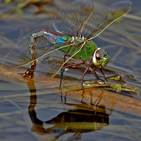 by Larry Kaasa - Animals Insects & Spiders ( dragonfly, insect )