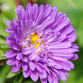 purple by SANGEETA MENA  - Flowers Flowers in the Wild