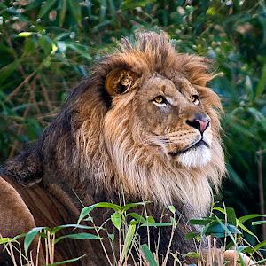 lion0382fnl10_09_scpc_1024.jpg