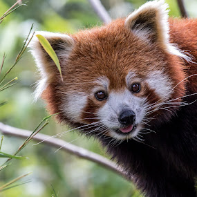 Red Panda by Andrew Moore - Animals Other Mammals (  )