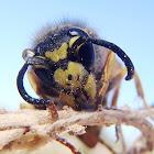 European wasp. Avispa chaqueta amarilla