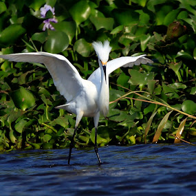 Snowy Egret by Josefina Macchia - Animals Birds ( water, egret snowy egret )