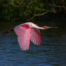Roseate Spoonbill In Fiight by Mike Vaughn - Animals Birds ( roseate spoonbill )