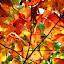 Fall Leaves by Naveen Naidu - Nature Up Close Leaves & Grasses (  )