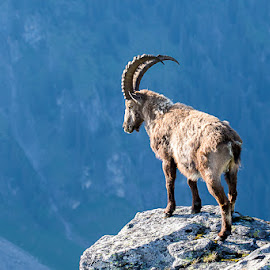 Watching out for the herd by Peter Grutter - Animals Other Mammals ( steinbock, niederhorn, switzerland, ibex, animal )