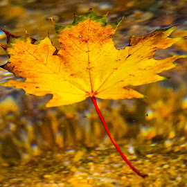 Floating Leaf by Carl Albro - Nature Up Close Leaves & Grasses ( water, fall, floating, leaf )