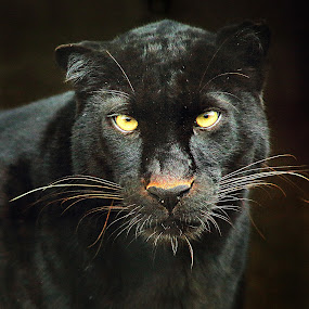 Black panther by Gérard CHATENET - Animals Lions, Tigers & Big Cats