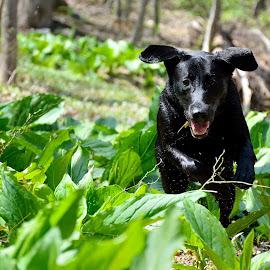 Difficult Run by Steffen Gronegger - Animals - Dogs Running ( labrador retriever, black dog, black lab, black labrador )