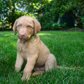 Meet Bo by Ann J. Sagel - Animals - Dogs Puppies ( puppy, domestic animal, ann j. sagel, dog, chesapeake bay retriever )