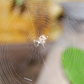 Spider by Sagar Pangole - Animals Insects & Spiders ( web of the spider, spider, spider with web, beautiful web, spider web )