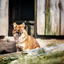 Redwolf by Karin Wollina - Animals Other Mammals ( zoo, nature, wolf, wildlife, dog, landscape, outside, mammal )