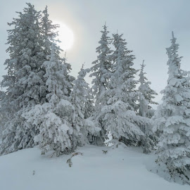 Sun and Trees by Chad Roberts - Nature Up Close Trees & Bushes ( blowing, wind, cold, snow, trees, sun )