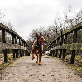 Walking the dogs by Martijn van Sabben - Animals Other ( dogs, perspective, bridge, dog, outside )