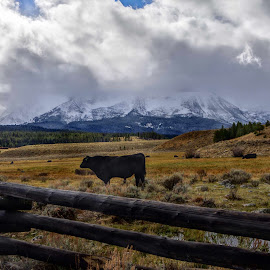 Cattle by Dave Bower - Landscapes Mountains & Hills