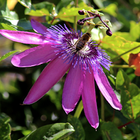 Bee on a Passion Flower by Tony Huffaker - Flowers Single Flower ( bee, purple, passion, flower )