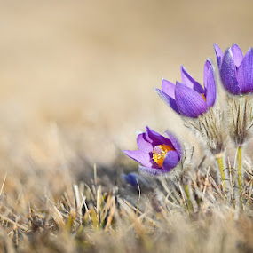 Beauty of spring by Cvetka Zavernik - Flowers Flowers in the Wild ( plant, spring flowers, nature, flowers, spring )