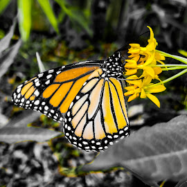 Monarch Butterfly by Anne LiConti - Instagram & Mobile Android ( #macrophotography, #phonephoto, #mobilephoto, mobilephotography, #monarchbutterfly, #macro, #butterfly, #phonephotography, #android,  )