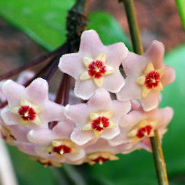 Hoya by Ingrid Anderson-Riley - Flowers Flower Buds