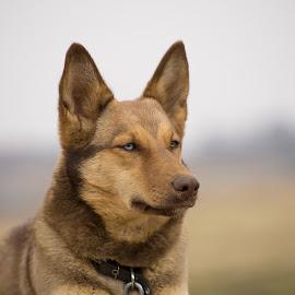 by Dainius Karaliūnas - Animals - Dogs Portraits