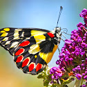 Red Spotted Jezebel