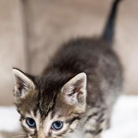 Madonna by Brook Kornegay - Animals - Cats Kittens ( kitten, cat, blue, tabby, portrait, eyes,  )
