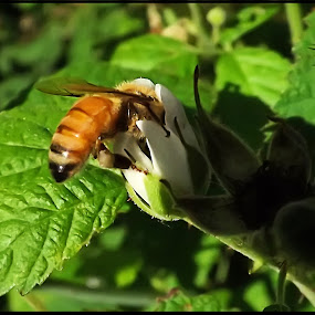 Bee getting Nector by Danny Bruza - Uncategorized All Uncategorized ( honey bee, bee, closeup, nector, flower )